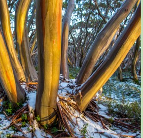 mtbawbaw-snow-gums-gallery